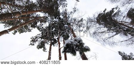 Branches Of Fir Trees Covered With Snow Against The Sky. Snowfall. High Winter Fir Trees. Winter Tre
