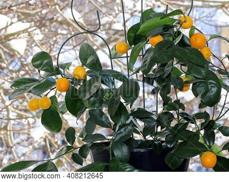 Ripe Orange Fruit On A Calomandin Tree In Winter Against A Background Of Snow Outside The Window. Th