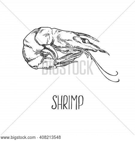 Hand Drawn Vector Illustration Of Shrimps, Prawns. Isolated Seafood Images For Design, Packaging, Me