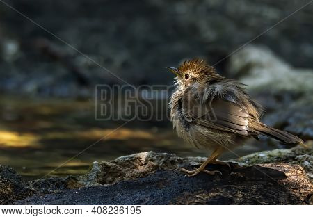 Puff-throated Babbler Or Spotted Babbler Ruffling Its Feathers To Shake Out The Extra Water And Fluf