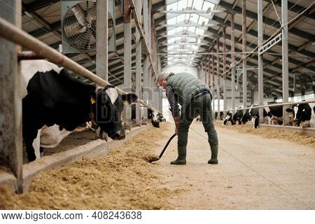 Mature grey-haired male owner of animal farm putting livestock feed for cows by paddocks with cattle while standing against long aisle