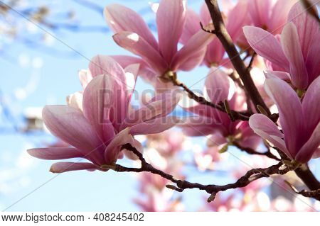 Magnolia Flowers In Spring Time. Beautiful Pink Spring Magnolia Flowers On A Tree Branch