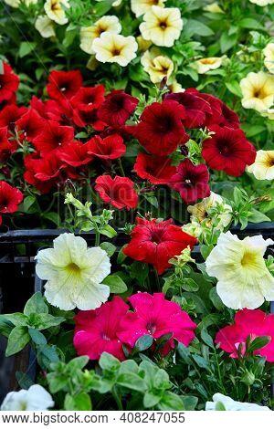 Petunia Flowers In Black Plastic Crates Garden Center.