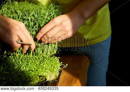 Woman Cut By Scissors Microgreen At Wooden Table, Hard Light
