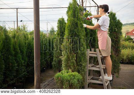 Photo Worker Woman Gardener Trim Cuts Thuja Bushes Hedge With Pruning Shears