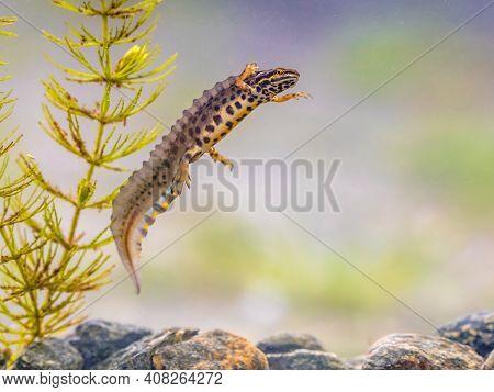 Common Newt (lissotriton Vulgaris) Male Aquatic Amphibian Swimming In Freshwater Habitat Of Pond. Un