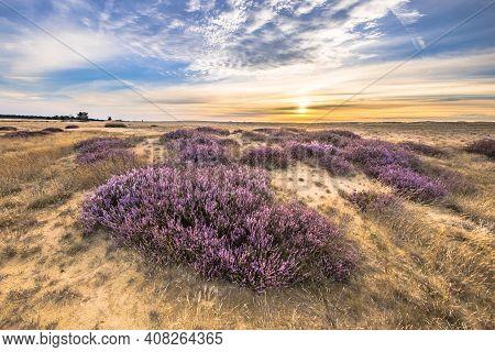 Enchanting Landscape Scenery Of Heathland In National Park Hoge Veluwe, Gelderland Province, The Net
