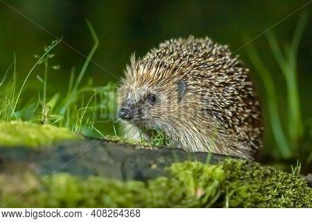 Hedgehog (erinaceus Europaeus) Wild, Native, European Hedgehog With Forest Background, And Green Mos