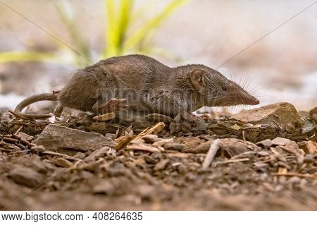 Lesser White-toothed Shrew (crocidura Suaveolens) In Natural Habitat. Cevennes, France. Wildlife Sce