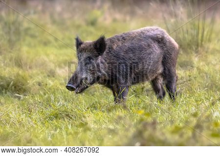 Wild Boar (sus Scrofa) Foraging In Field Of Grass At Dusk. Young Femal Boar In National Park Hoge Ve