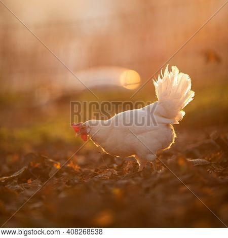 Hens in a farmyard (Gallus gallus domesticus)