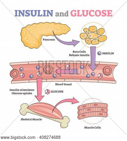 Insulin And Glucose Release Regulation Educational Scheme Outline Concept