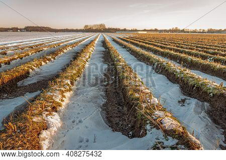 Converging Asparagus Ridges In The Winter Season. The Earth Is Partly Covered With Snow But The Thaw