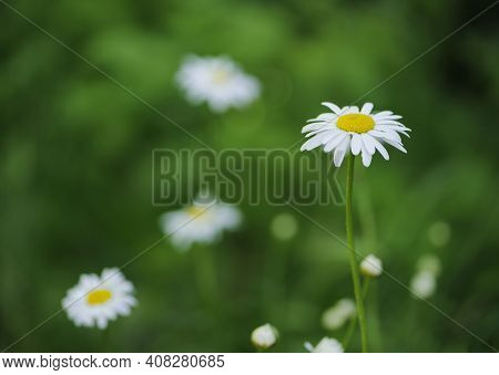 Matricaria Chamomilla, Delicate Flowers Of A White Field Chamomile In Green Grass. Beautiful White C