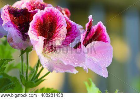 Beautiful Delicate Geranium Flower With Water Drops. Pink Flowers Of Pelargonium Peltatum, On A Blur