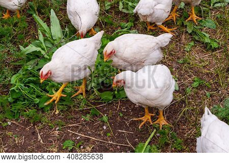 Broiler Chickens In The Village Courtyard Large Broiler Chickens Feed On Green Grass. Raising Chicke