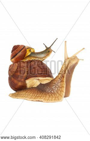 Two Snails On A White Background. Roman Snail Or Helix Pomatia, Isolated On A White Background. Gard
