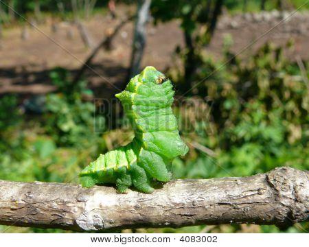Caterpillar Of Artemis