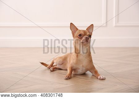 Cute Chihuahua Dog Lying On Warm Floor Indoors. Heating System