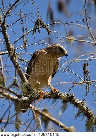 Hawk Perched In A Tree Florida Everglades Wildlife
