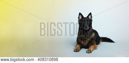 German Long-haired Shepherd Dog Lies On A Gray And Yellow Background In The Studio. High Quality Ban