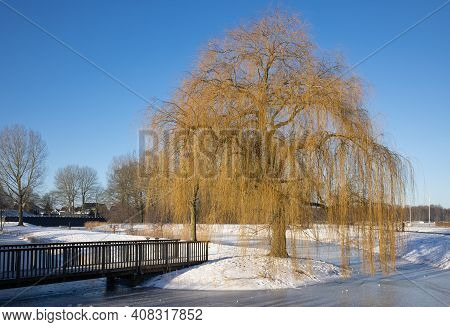 Snowy Winter Landscape With Weeping-willow Near Canal In Residential Area Of Urk, The Netherlands