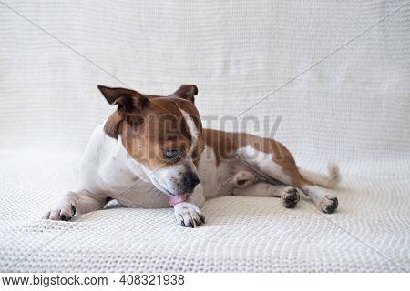 Small Chihuahua Dog Looking At Camera And Licking His Paw.