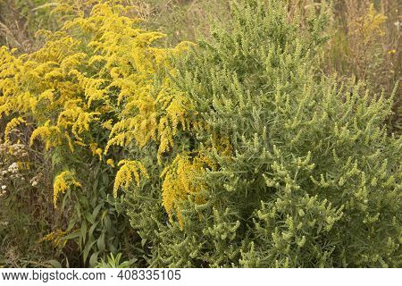 Flowering Ragweed And Goldenrod Allergen Plants Growing Together Outside
