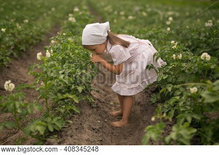 Potato Plant Beds On A Farm. Young Potato Plant Growing On The Soil. Potatoes In The Garden At The H