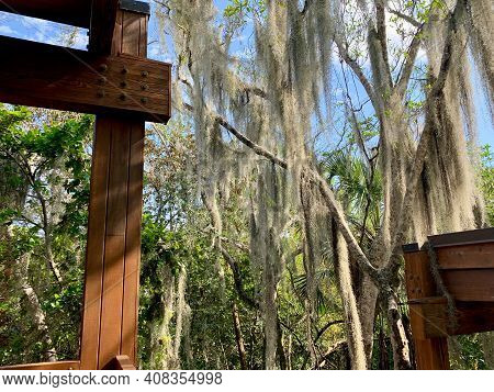 Spanish Moss Hanging In Trees In Florida