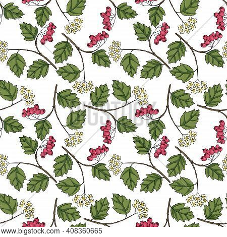 Vector Seamless Pattern With Drawing Hawthorn Branch With Leaves, Flowers And Berries, Crataegus Lae