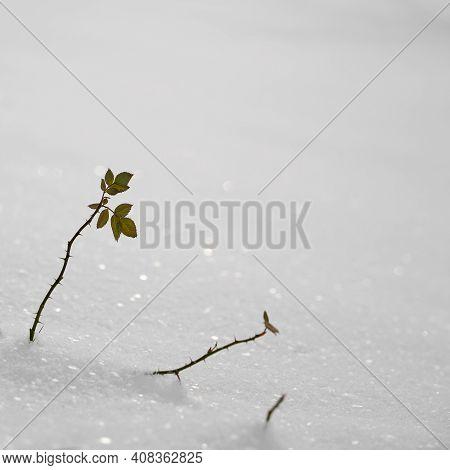 Snowed-in Wild Rose (rosa Corymbifera) On A Meadow In Winter