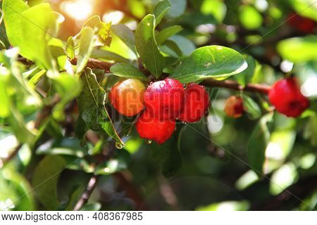 Fresh Organic Acerola Cherry.thai Or Acerola Cherries Fruit On The Tree With Water Drop, High Vitami