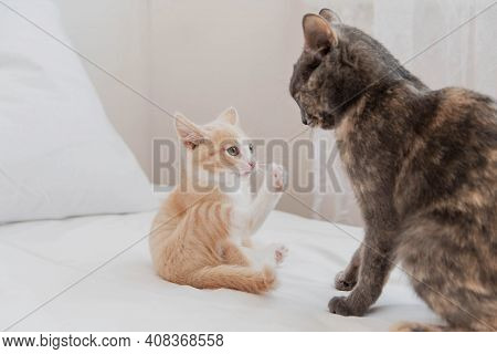 The Little Red Kitten Is Afraid Of The Big Cat. The Cat And Kitten Play On The White Bed