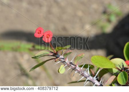 Christs Thorn - Latin Name - Euphorbia Milii Var. Milii