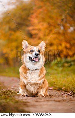 Welsh Corgi Pembroke Dog Obeys Command To Sit In Autumn Park