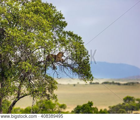 Spotted leopard resting on the branches of acacia. Predatory mammals in Masai Mara Park. Kenia. Jeep-safari in spring in the African savannah. Concept of extreme, exotic and photo tourism