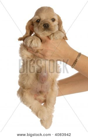 Cocker Spaniel Puppy With Large Hernia