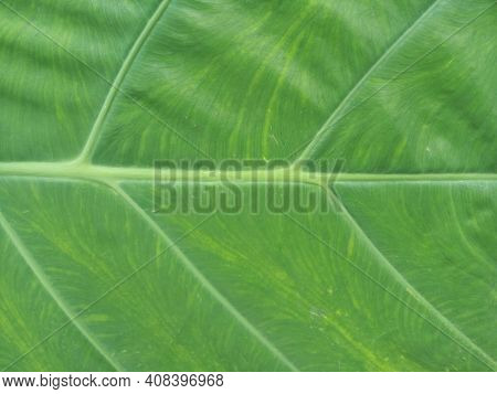 Taro Leaf. Close Up Of Fresh Green Taro Leaves Texture Background. Floral Green Pattern Backgrounds.