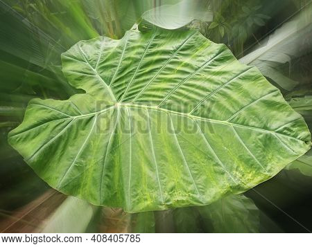 Large Taro Leaf. Close Up Of Fresh Green Taro Leaves Texture Backgrounds. Floral Green Pattern On Bl