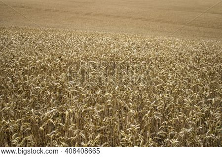 Golden And Dry Wheat Field Reader To Harvest