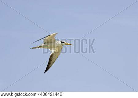 Large-billed Tern, Phaetusa Simplex, Adult In Flight, Los Lianos In Venezuela
