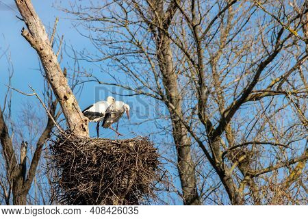 A Stork Couple In Their Nest At A Cold Day In Winter Next To Büttelborn In Hesse, Germany.