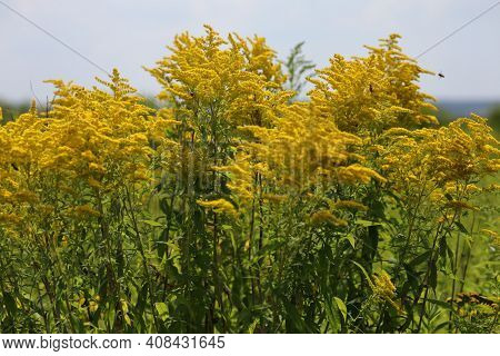 Solidago Goldenrods Yellow Honey Plant On A Summer Day