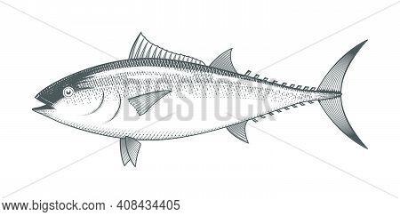 Tuna Sketch, Hand Drawn Fish, Tunny Seafood Menu, Fish In Engraved Style, Vector