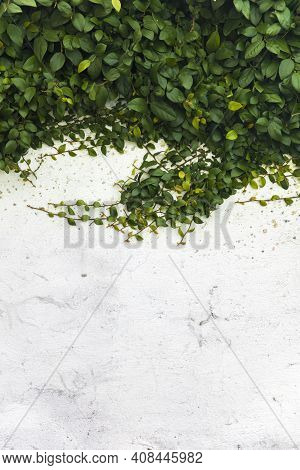 Long Branches Of A Plant On A White Stucco Wall With Copyspace