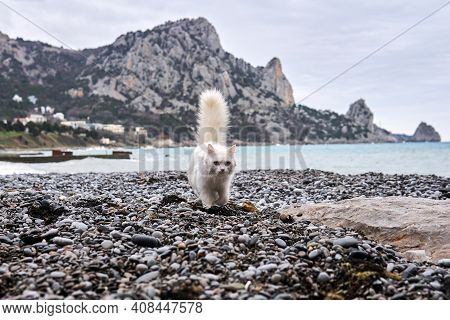 White Cat Walks Along The Pebble Sea Beach Against The Backdrop Of Rocky Cliffs In The Distance
