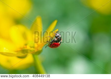Ladybug On The Blooming Yellow Crocus Flower In The Spring Forest. First Spring Flowers Close-up. Na
