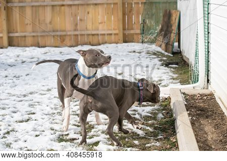 Adult Pitbull Is Not Amused With Pitbull Puppy Trying To Play