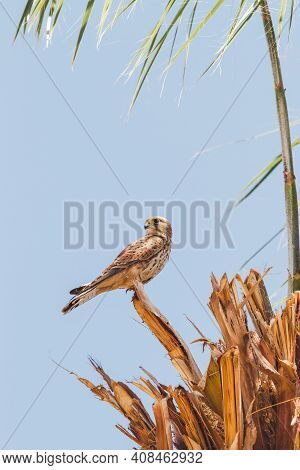 Falcon Sits On Palm Tree On Clear Blue Background. Big Bird Staring In Camera. Sunny Day In Hurghada